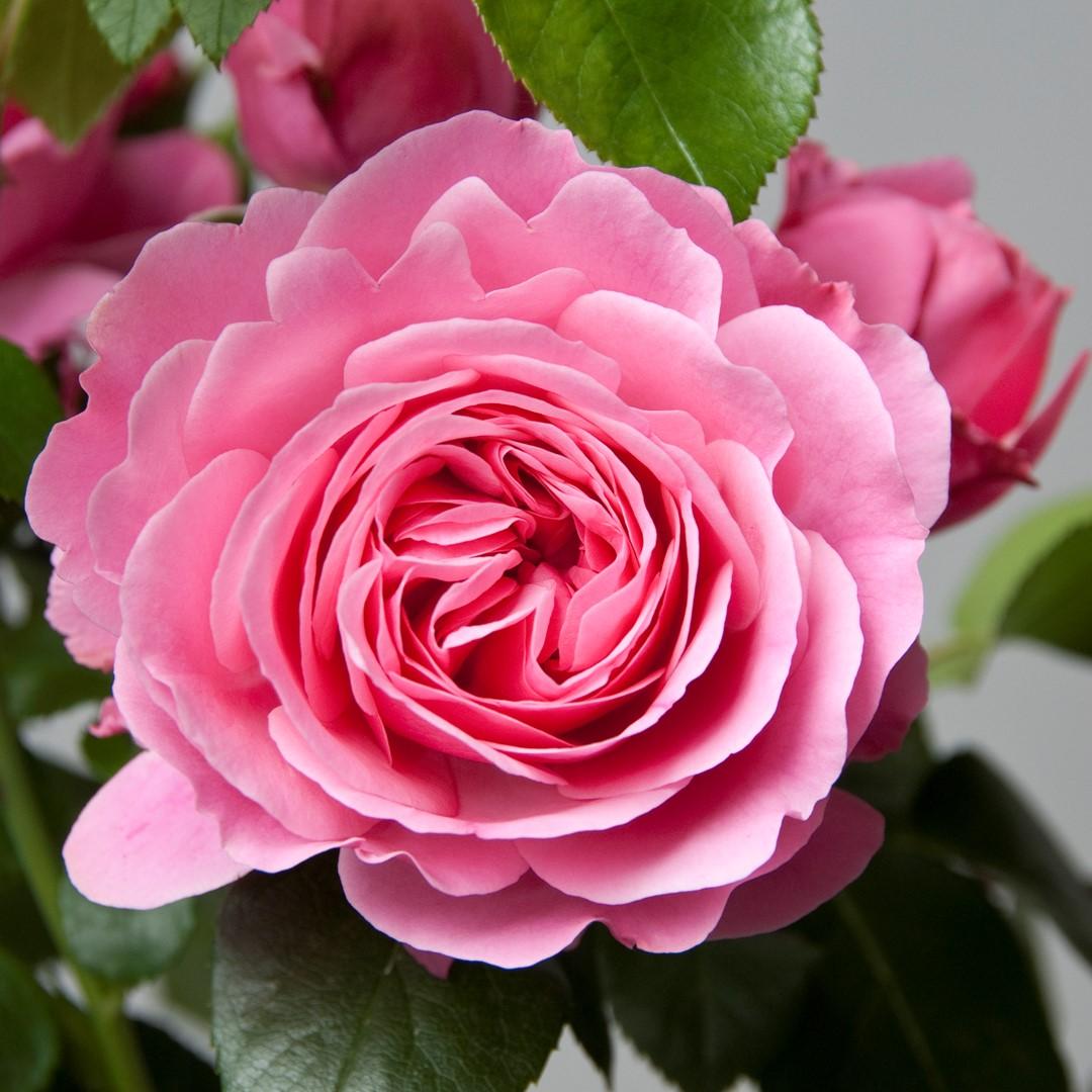 Da Vinci Tuinmeubelen.5 Roses Leonardo Da Vinci