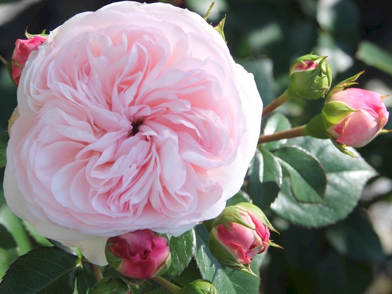 Roses In Garden: Rosa Maria Theresia Stamroos 90 Cm Kw